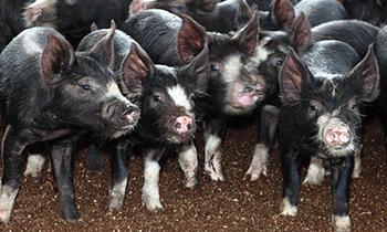 黒牛・黒豚について知る